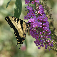 Butterfly on Purple Butterfly Bush
