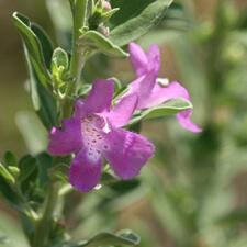 Pink Leucophyllum frutescens - Texas Ranger