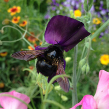 Sweet Pea with Carpenter Bee